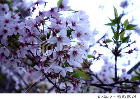 桜 49958024