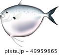魚 ギンカガミ (ベクター) 49959865