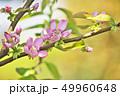 植物 花 花梨の写真 49960648