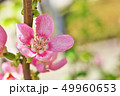 植物 花 花梨の写真 49960653