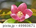 植物 花 花梨の写真 49960671