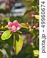 植物 花 花梨の写真 49960674
