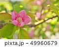 植物 花 花梨の写真 49960679