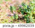 花 ヒメオドリコソウ ピンクの写真 49962039