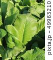 野沢菜の葉 49963210