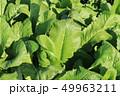 野沢菜の葉 49963211