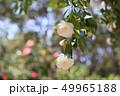 ツバキの花 49965188