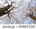 桜 49965546