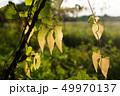 つる性落葉低木 ブドウの樹 蔓 49970137