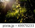 つる性落葉低木 ブドウの樹 蔓 49970233