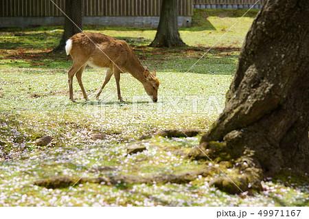 積もる桜と奈良の鹿19 49971167