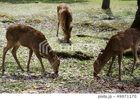 積もる桜と奈良の鹿5 49971170