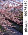 春 カワヅザクラ 川の写真 49976160