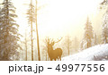 Proud Noble Deer Male in Winter Snow Forest 49977556