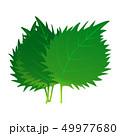 大葉 葉 野菜のイラスト 49977680