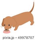 餌を食べるダックスフント  49978707