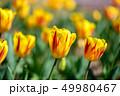 カラフル・満開・春・チューリップ 49980467