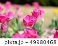カラフル・満開・春・チューリップ 49980468