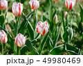 カラフル・満開・春・チューリップ 49980469