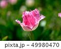 カラフル・満開・春・チューリップ 49980470