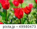 カラフル・満開・春・チューリップ 49980473