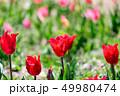 カラフル・満開・春・チューリップ 49980474