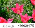 カラフル・満開・春・チューリップ 49980475