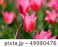 カラフル・満開・春・チューリップ 49980476