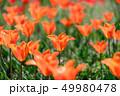 カラフル・満開・春・チューリップ 49980478