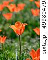 カラフル・満開・春・チューリップ 49980479