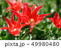 カラフル・満開・春・チューリップ 49980480