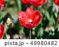 カラフル・満開・春・チューリップ 49980482