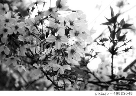 桜 49985049