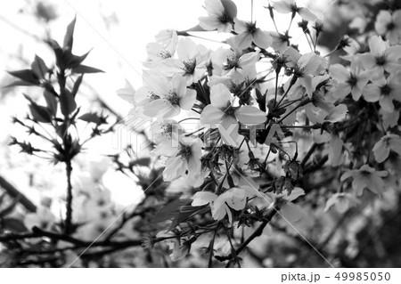 桜 49985050