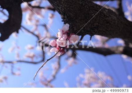 美しいピンク色の梅の花 49990973