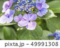 花 紫陽花 開花の写真 49991308