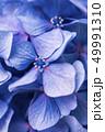 花 紫陽花 開花の写真 49991310