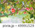 ツバキの花 49991529