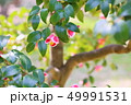 植物 花 椿の写真 49991531