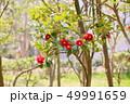 ツバキの花 49991659