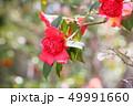 ツバキの花 49991660