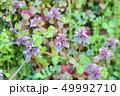植物 花 姫踊子草の写真 49992710