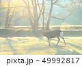 早朝 朝もや 鹿の写真 49992817