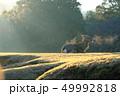 早朝 朝もや 鹿の写真 49992818