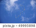 白鳥の群れ 49993898