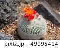 植物 花 サボテンの写真 49995414