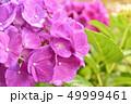 あじさい 紫陽花 花の写真 49999461