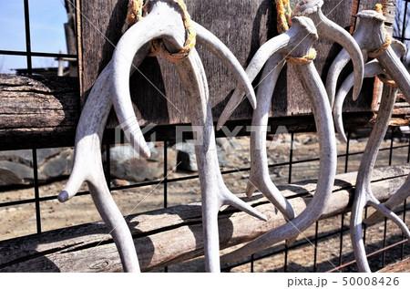 鹿の角、群馬サファリパークの鹿の骨の標本 50008426