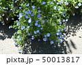 ネモフィラの花 50013817