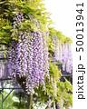 藤の花 50013941